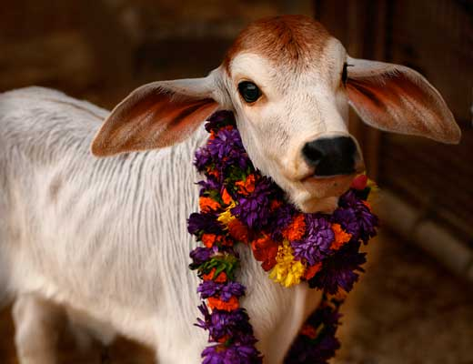 Cow Protection; Lord Krishna's Example