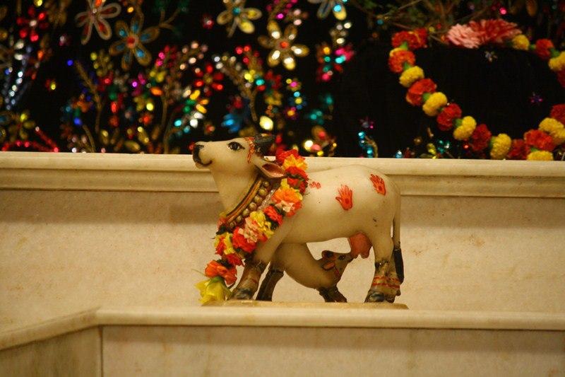 cow mayapur