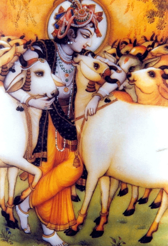 govinda with cows