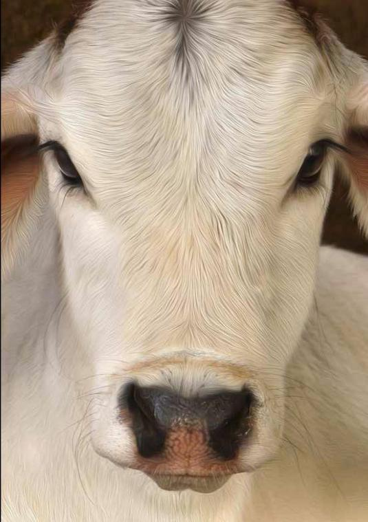 Care for Cows image
