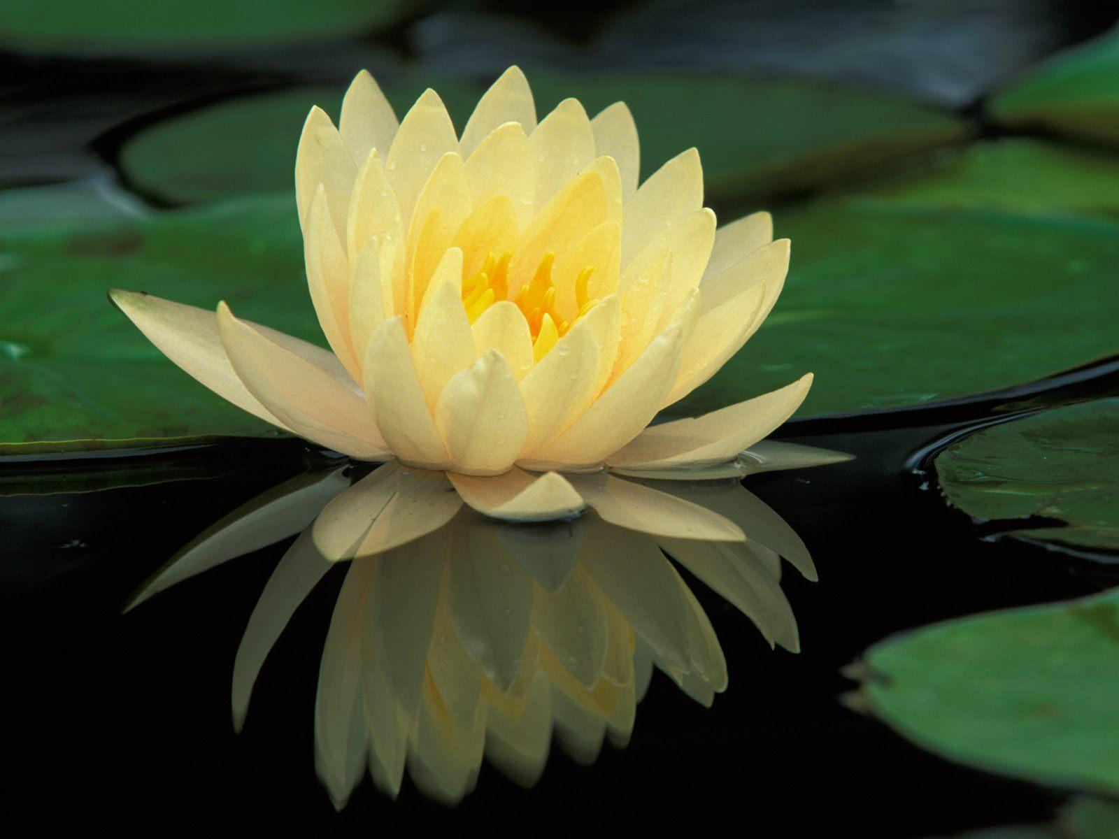 Lotus flower the hare krishna movement lotus flower in autumn izmirmasajfo